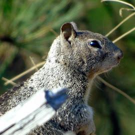 GREY SQUIRWILDEL by Cynthia Dodd - Novices Only Wildlife ( animals, nature, wildlife, grey, squirrel )