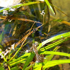 Water Strider and Yellow Jacket Fight