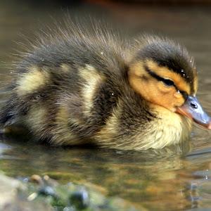Duckling_2.JPG