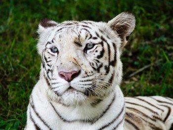 Photo: White tigar