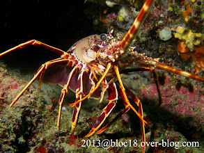 Photo: 002-langouste-20 m