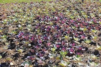Photo: 拍攝地點: 梅峰-一平臺 拍攝植物: 葉牡丹 拍攝日期: 2015_01_15_FY