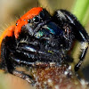 Red Backed Jumping Spider