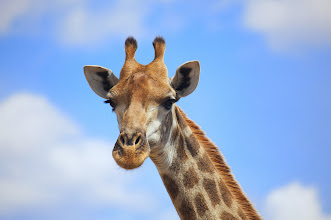 Photo: A giraffe (Giraffa camelopardalis) portrait captured close to Satara in the Kruger National Park, South Africa