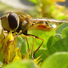 Lesser banded hoverfly