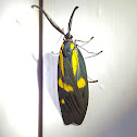Yellow-Spotted Jewel Male