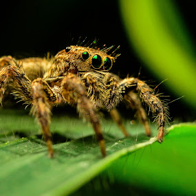 Jumper Spider by Shohibul Huda - Animals Insects & Spiders ( macrophotography, macro photography, indonesia, jumping spider, spider, close up, animal )