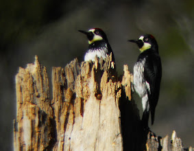 Photo: Adult male and adult female Acorn Woodpeckers, Bearpaw Preserve, Southern California