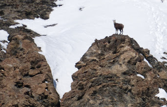 Photo: Early morning Chamois on the Col