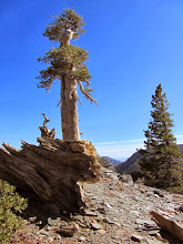 Photo: Stately pines decorate the landscape on the south ridge of Dawson Peak
