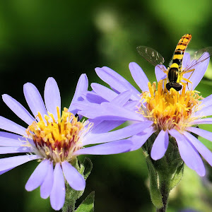 Aster x herveyi with hoverfly 13.JPG