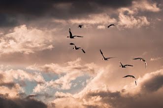 Photo: More snow geese coming home for the night