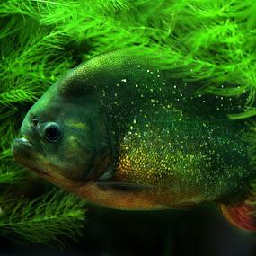 Aquarium by Claudiu Petrisor - Animals Fish ( water, piranha, green, fish, aquarium, plants, germany,  )