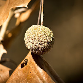 Tree Seed by Barry Blaisdell - Flowers Flowers in the Wild ( tree, seed, trail, walk, woods )