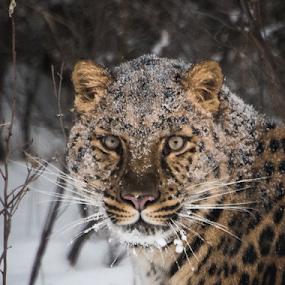 Amur Leopard by John Klingel - Animals Lions, Tigers & Big Cats ( big cat, animal portrait, endangered, amur leopard )