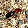Honey carrier ant