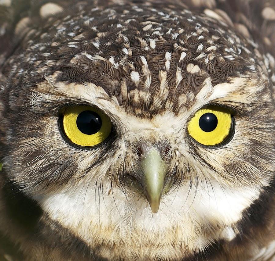 OWL CLOSE UP ! by Itamar Campos - Animals Birds