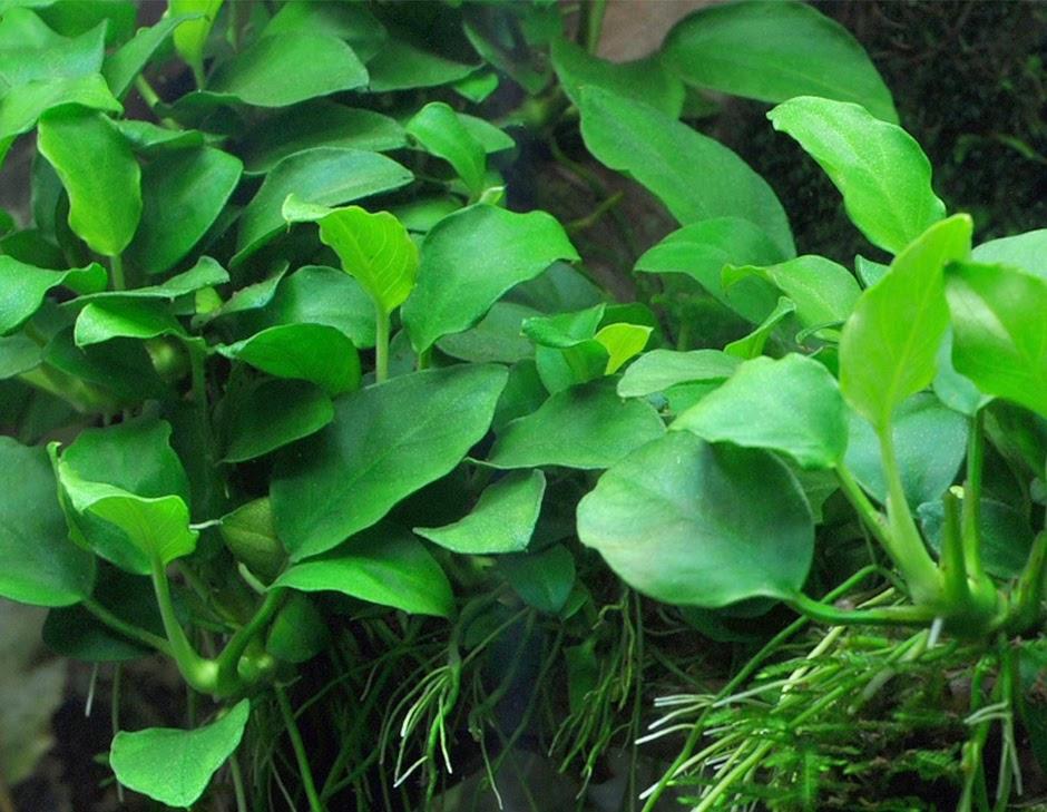 Анубиас нана изящный (Anubias barteri var. nana Petite)
