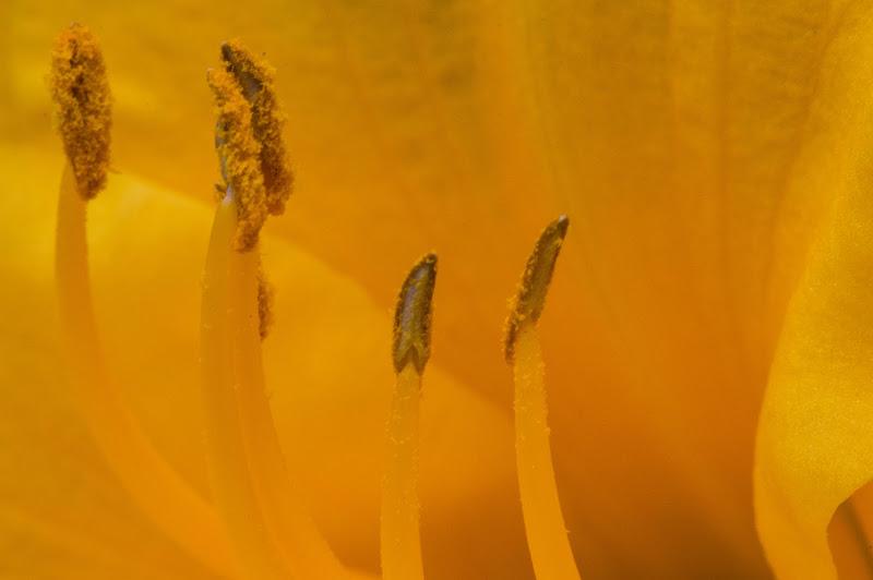 Fiore di peraperina