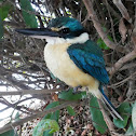 Sacred Kingfisher (male)