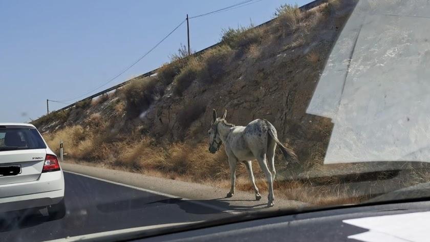 Un burro, como los que provocaron el accidente en Tabernas, pasea solo por una carretera de Vera, en una imagen de archivo.