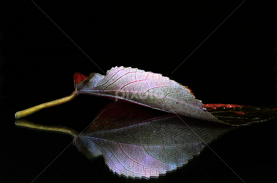 reflected leaf by Pete G. Flores - Nature Up Close Leaves & Grasses ( fall leaves on ground, fall leaves, reflection, pwcfallleaves, single, solo, one, night, leaf )