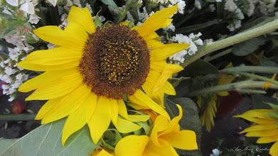 Photo: Floarea Soarelui pitica  (Helianthus annuus) - din Turda,  Piata Centrala Agroalimentara - 2018.08.03