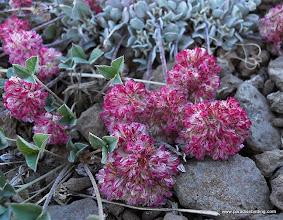 Photo: Buckwheat, Steens Mountain