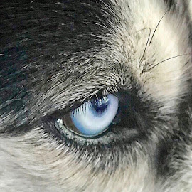 Eye See Your Soul by Lorna Littrell - Animals - Dogs Portraits ( eye, close up, husky, animals, dog )