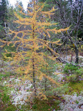 Photo: A larch in Fall color.