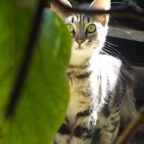 caught peeking by Serenity Deliz - Animals - Cats Portraits ( wild, cat, mommy cat, watching, starring cat, kitty )