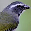 Brazilians Birds Sounds (Trinca Ferro Bird) icon