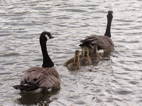 Photo: Family of geese swimming in a lake at Cox Arboretum in Dayton, Ohio.