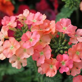by Karen Carter Goforth - Uncategorized All Uncategorized ( peach, flowers,  )