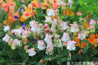 Photo: 拍攝地點: 梅峰-溫帶花卉區 拍攝植物: 耬斗菜 拍攝日期: 2014_04_16_FY