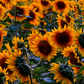 Sunflowers by Carl Testo - Flowers Flowers in the Wild ( sunflowers, summer )