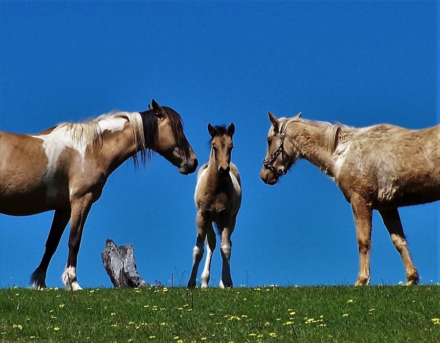 Horses by Sarah Harding - Novices Only Pets ( pet, horse, novices only, animal, foal,  )
