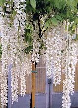 "Photo: Glicinia Branca (Wisteria floribunda ""alba"")"