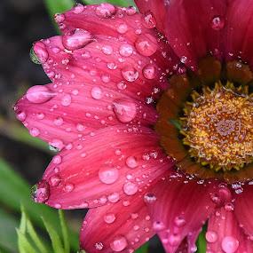 macro flower nature  by Zhenya Philip - Flowers Single Flower ( nature, macro photography, photo, flower, droplets,  )