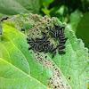Alder Leaf Beetle (larvae)