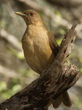 Photo: CLAY-colored thrush