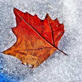 Leaf in the Snow by Don Mann - Nature Up Close Leaves & Grasses ( photograph, don, fauna, petals, leaf, vibrant, leaves, fall leaves on ground, tree, nature, photographer, dark, flowers, bc, light, flower, british columbia, canada, image, northern, picture, fall leaves, apple, peachland, canadian, trees, images, mann, natural, west, plant, photographs, colorful, plants, pictures, north, digital, pretty, photography, blossom, southern, digital art, east, flora, beautiful, photo, blossoms, photos, cherry, color, south,  )