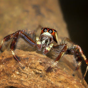 Jumping Spider by Fairul Izwan CreativeVision - Animals Insects & Spiders ( macro )