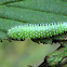 Common Sawfly Larva