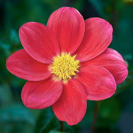 Dahlia 8679~ by Raphael RaCcoon - Flowers Single Flower
