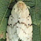 Gypsy moth (female laying eggs)
