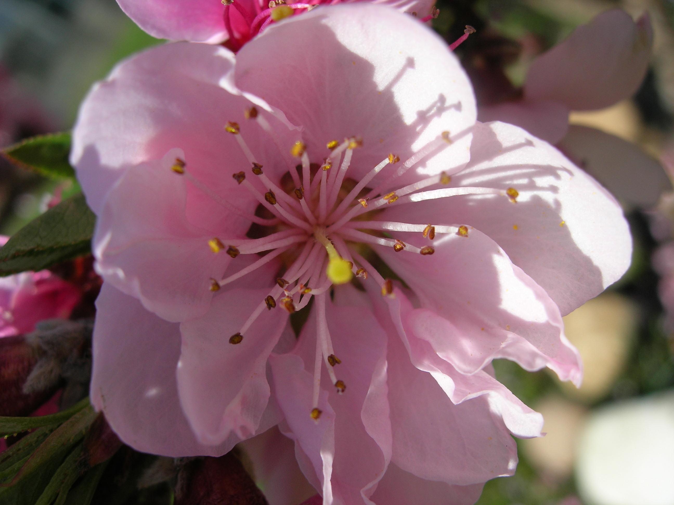 Fiore di pesco di rubis