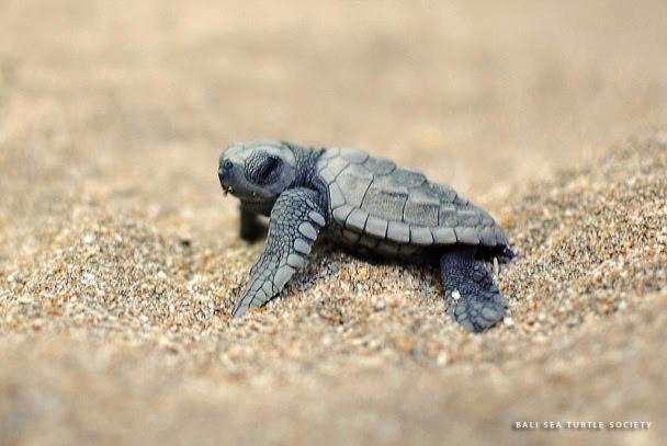 Bali-Sea-Turtle-Society