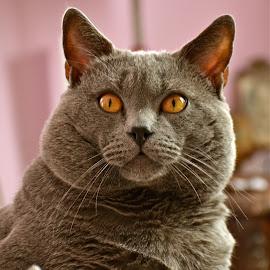 Hugo by Serge Ostrogradsky - Animals - Cats Portraits