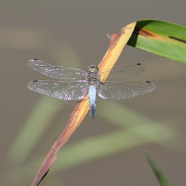 Dragon fly by Anthony Whittle - Animals Insects & Spiders (  )
